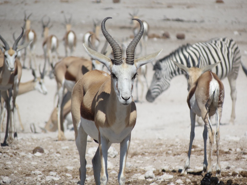 Springbuck and Zebra in Etosha